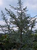 Learn more about the Blue atlas cedar tree here