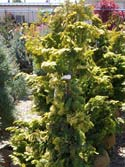 Learn more about the Hinoki false cypress tree here