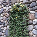 Planted Vines Upon the Intricate Rock Wall Outside the Garland Log Home.